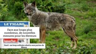 Na imprensa francesa destaque para a abatagem de lobo no país face a proliferação dessa espécie selvagem, que é protegida por lei.