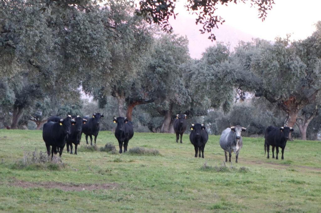 Les vaches d'Enrique dans la dehesa.