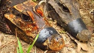 Comparaison d'un crocodile cavernicole (à g.) et de son cousin le crocodile nain.