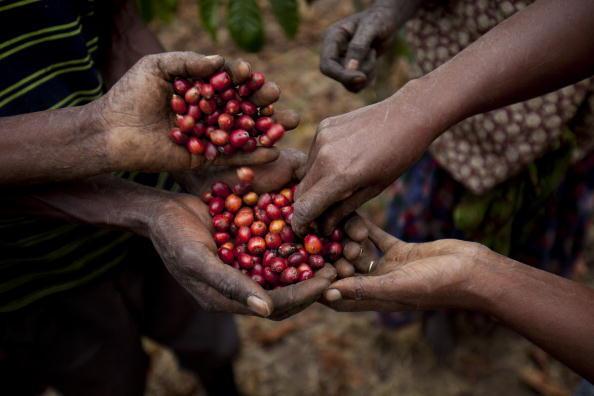 Le café robusta, dans certains cas, pourra présenter une alternative à l'arabica, c'est-à-dire que là où l'arabica ne pourra plus pousser parce qu'il fait trop chaud, ce sera une opportunité pour les gens qui vivent  du café à continuer leur activité.