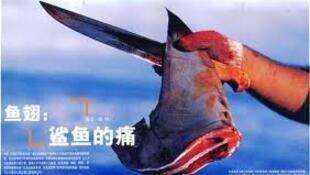 所谓鱼翅,就是鲨鱼鳍中的细丝状软骨。