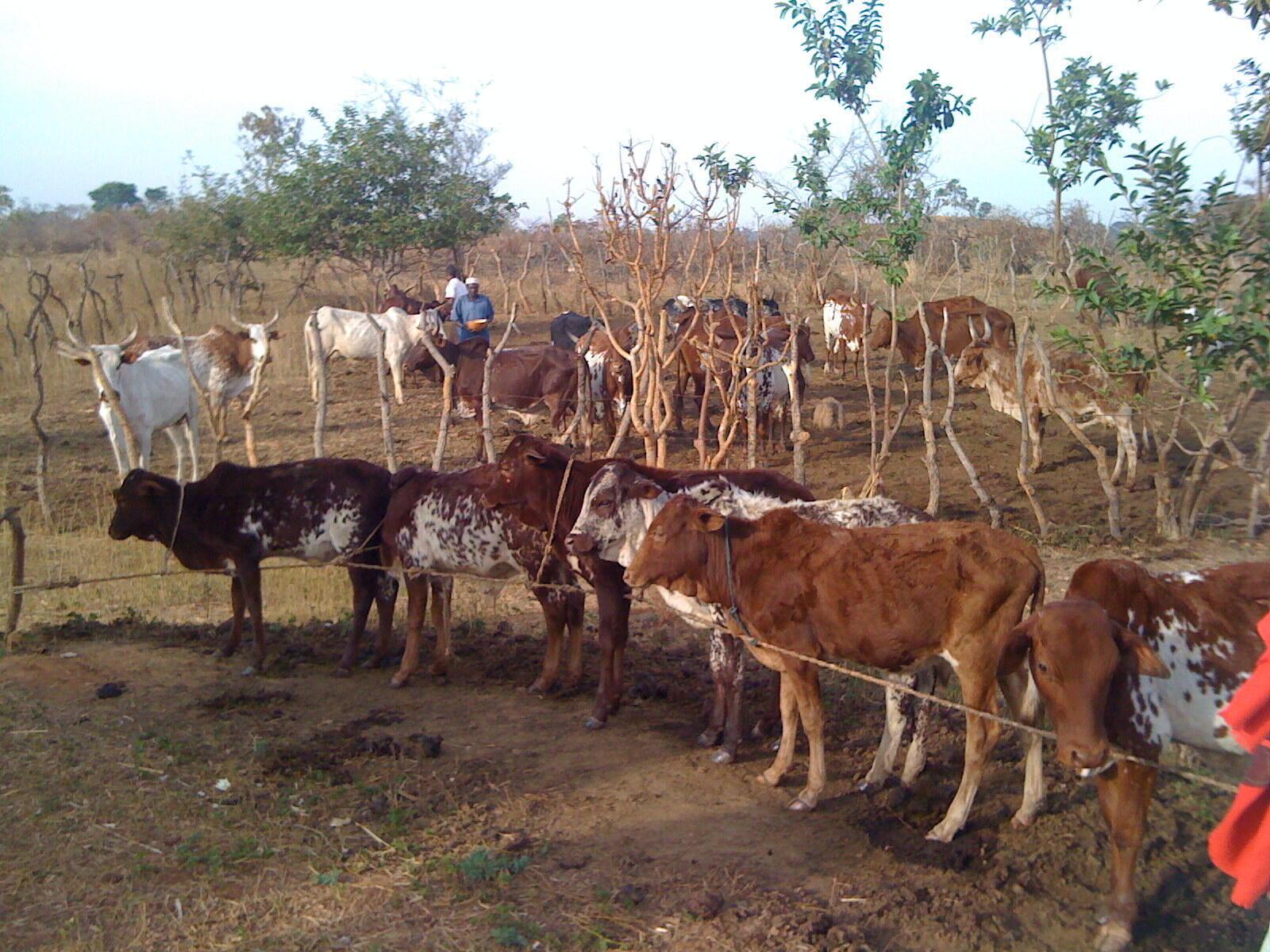 La pandémie du coronavirus a entrainé l'arrêt de la transhumance des troupeaux mauritaniens vers les pays voisins, le Mali et le Sénégal (photo d'illustration).
