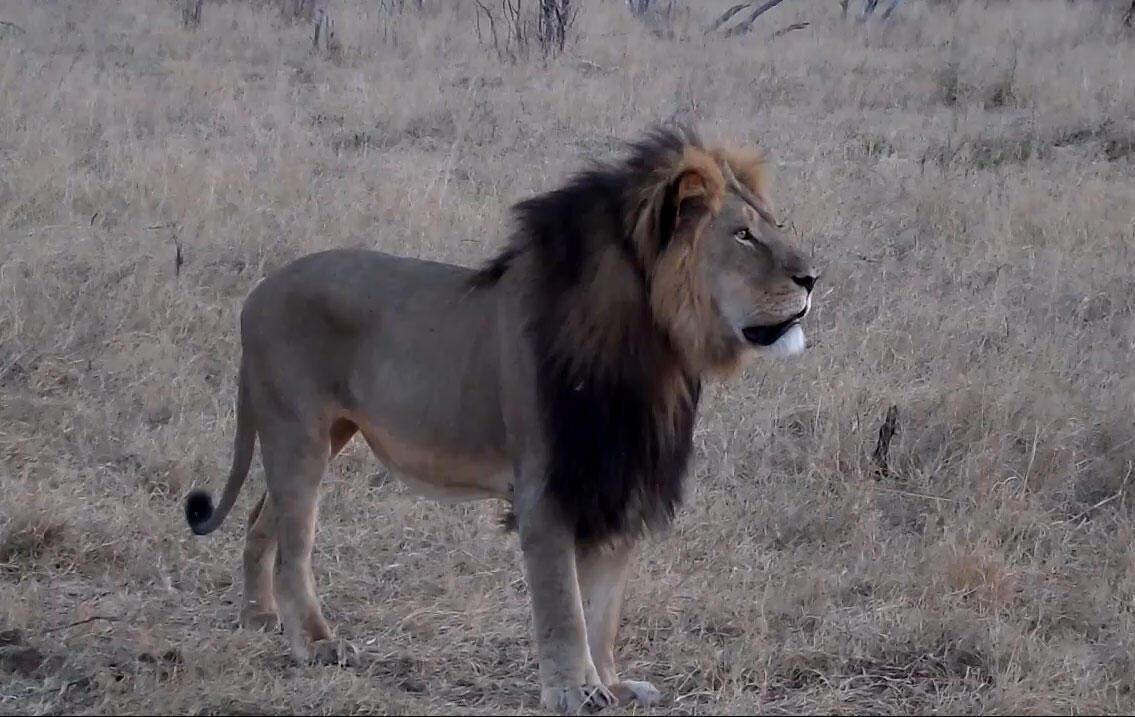 Le chef de meute Cecil était l'attraction phare du parc Hwange, au Zimbabwe. Il a été abattu par un braconnier en juillet 2015, après avoir été attiré hors de sa réserve grâce à une carcasse.