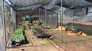 Le centre de recherches de Jimma sélectionne et reproduit les variétés productives et résistantes.