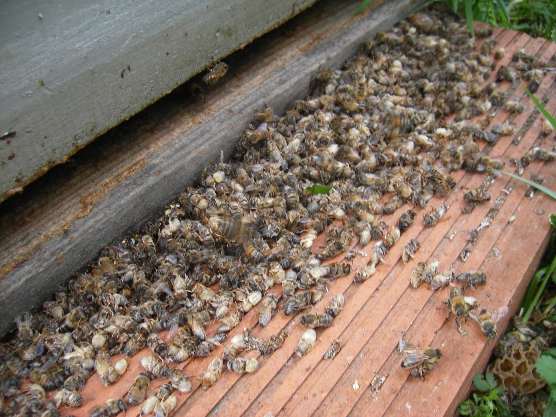 Abeilles mortes devant la ruche
