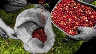 Récolte des baies de café en Colombie.