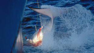 Une baleine harponnée par un navire japonais (image d'illustration).