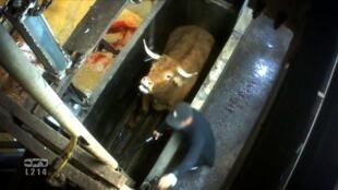 Imagem de vídeo denunciando abate de vacas prenhes.