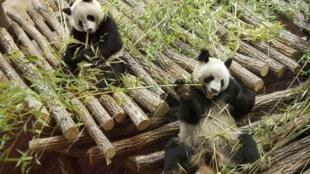 """法中两国第一夫人将为大熊猫""""欢欢""""的孩子取名"""