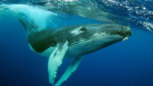 Un pêcheur de homard avec 40 ans de pratique a eu la frayeur de sa vie vendredi après avoir été avalé par une baleine à bosse.