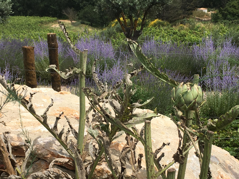 Артишоки в огороде замка
