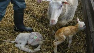 Des ovins aux Pays-Bas infectés par le virus Schmallenberg en janvier 2012.