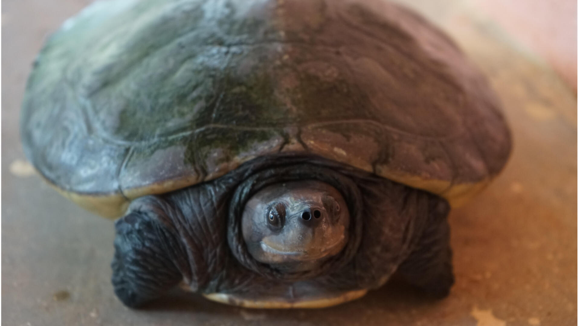 Une tortue Batagur âgée de 4 ans. Elle ne sera mature sexuellement qu'à 20 ans environ.