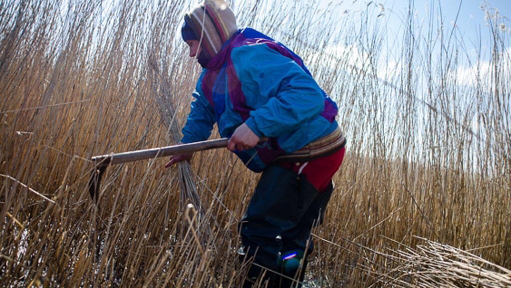 Dans des conditions assez difficiles, les pieds dans l'eau froide, Mariana fait partie des cueilleurs qui récoltent à la main les roseaux.