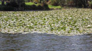 La jacinthe d'eau ne laisse aucun répit. Elle couvre 70% des plans d'eau mexicains.
