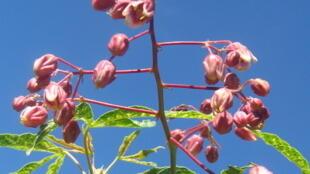 Fleurs de manioc dont les feuilles sont atteintes de la mosaïque.