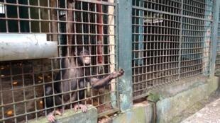 Cette femelle chimpanzé, nourrie une fois par jour de fruits, réclame de la nourriture aux visiteurs.