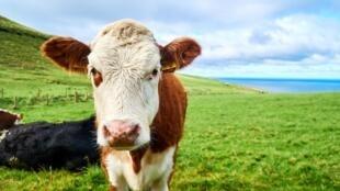 La particularité du bœuf irlandais est qu'il s'exporte énormément, à hauteur de 90%.