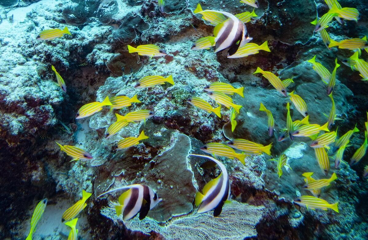 A school of common reef fish including Bannerfish clearly identified by their black and white stripes and the smaller Blue-lined Snappers.