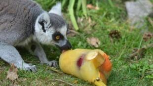 В нормандском зоопарке лемуров накормили фруктовым мороженым.