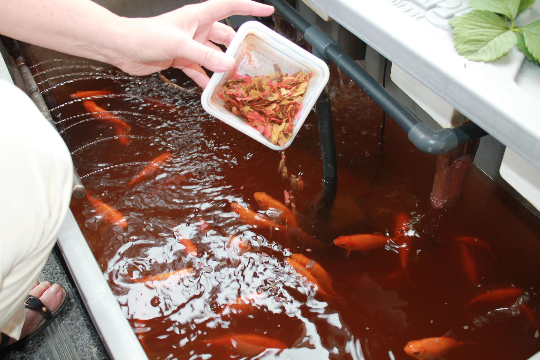 Chez Aquaprimeur, ce sont des poissons rouges qui fournissent l'engrais.