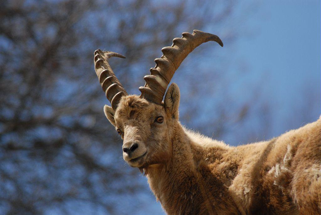 Les bouquetins des Alpes bénéficient du statut d'espèce protégée au niveau national, ils étaient au bord de l'extinction à la fin du 19e siècle proie facile pour les chasseurs.