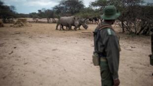 Un ranger dans le Parc du Limpopo situé entre l'Afrique du Sud, le Mozambique et le Zimbabwe.