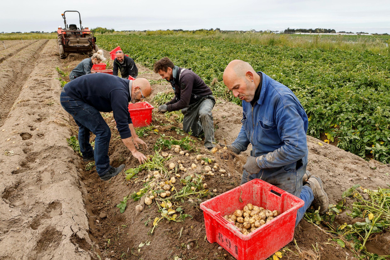 Nos campos da França, estão faltando mãos para colher frutas e legumes.