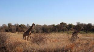 Des girafes dans la réserve de Dinokeng dans la province du Gauteng en Afrique du Sud.