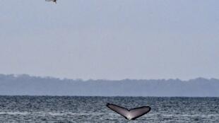 Một con cá voi trên Thái Bình Dương, vùng biển Panama.
