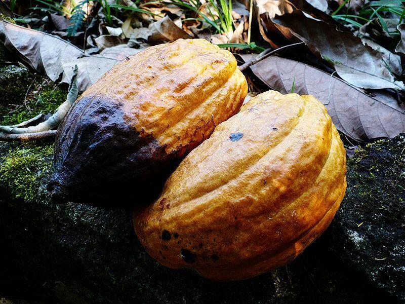 Cosses de cacao mûres.