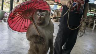 Macaco usado em apresentações em Chaing Mai, Tailândia.
