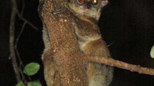 Lépilémur du nord (Lepilemur septentrionalis) de Madagascar