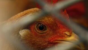 Les réductions successives, décidées par l'UE, de l'aide aux exportations de volaille mettent les éleveurs français en difficulté.