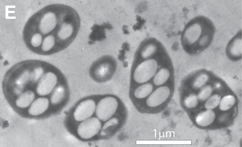 Bactéria com arsênico em seu DNA gera esperança de vida fora da Terra.