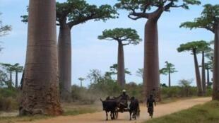 La célèbre allée des Baobabs au nord de Morondava.