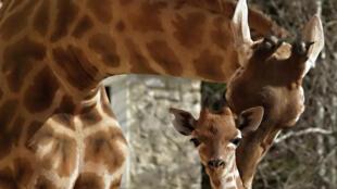 Une femelle girafe Péralta, en compagnie de sa mère, dans la Réserve africaine de Sigean, France. (photo datée de 2006).