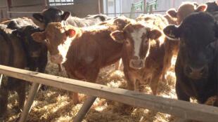A la ferme des Dandy, située à Broxden, à l'ouest d'Edimbourg.