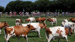 Ciclistas do Tour de France passam em frente a criação de gado na Bretanha
