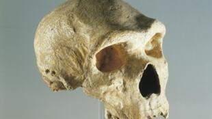 L'ensemble des humains, hormis les Africains, ont en commun dans leur ADN, 2 % des gènes néandertaliens.