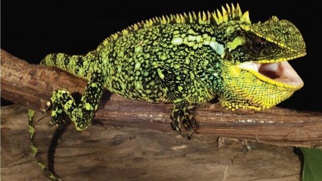 Los mini dragones pueden medir hasta 40 centímetros.