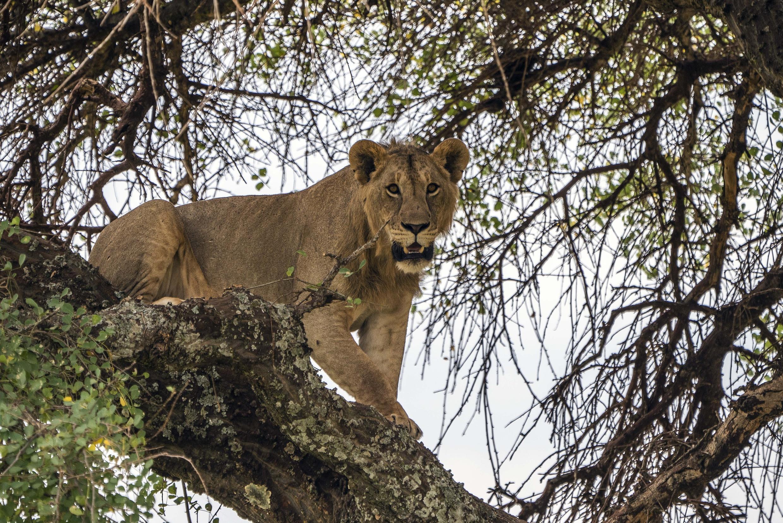 Танзания. Львица в национальном парке Тарангире