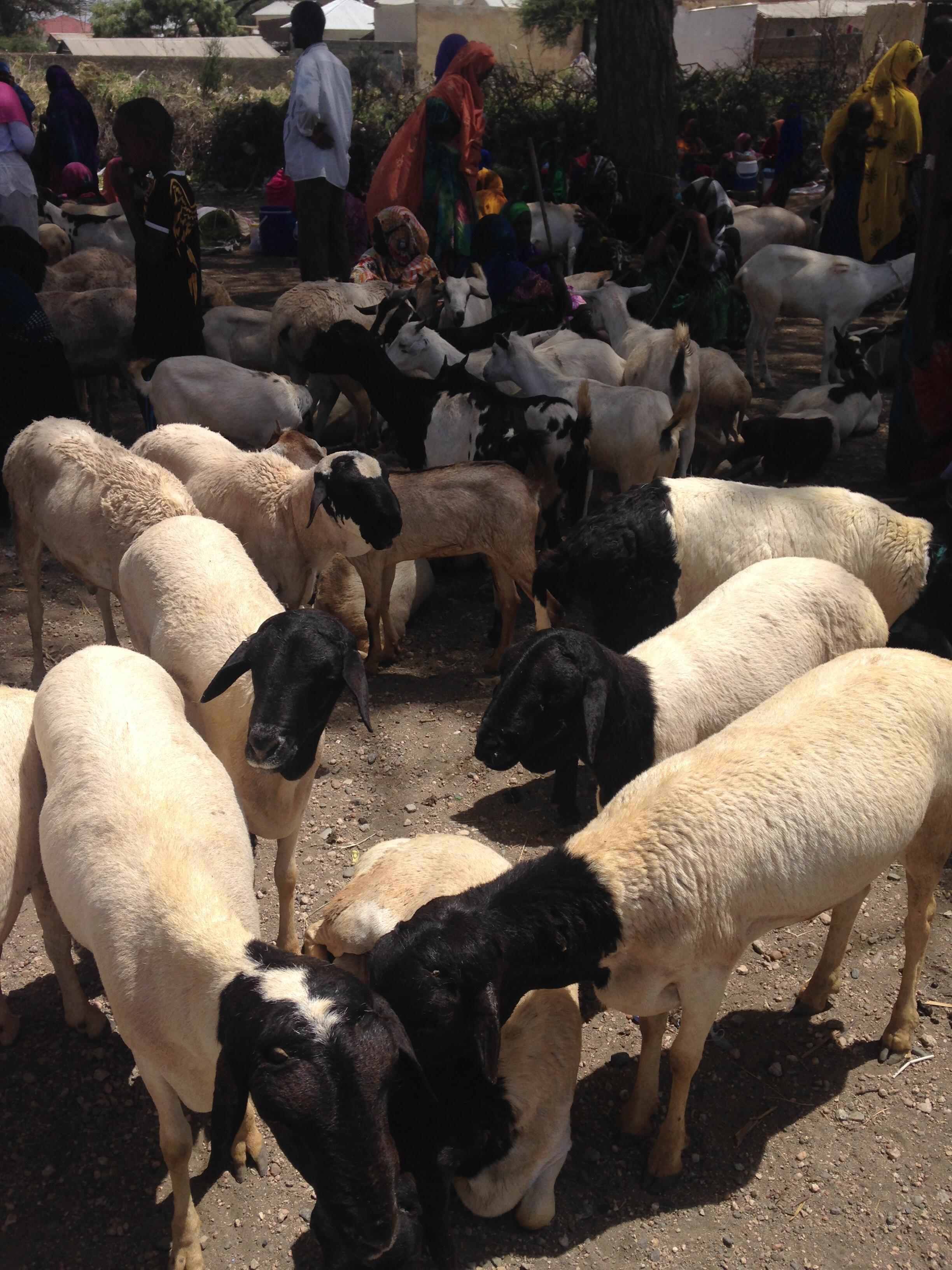 Somaliland blackhead sheep mingle with goats at the market in Borama, Somaliland