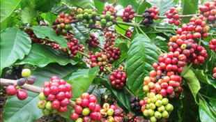 Des cerises de café.
