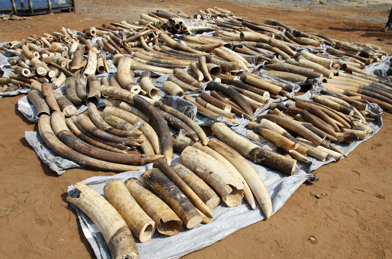 Apreensão de duas toneladas de marfim no porto de Lomé, Togo. 28 de !janeiro de 2014