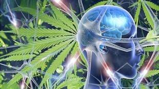 El principio activo del cannabis, el THC,  perturba a las mitocondrias, pequeños órganos en las células que tienen un rol en el proceso de la memoria.