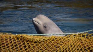 Белуха в приморской «китовой тюрьме», 7 апреля 2019