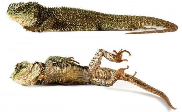 Gracias a sus escamas, a su coloración y a su ADN, los científicos han podido identifar tres nuevas especies de lagartijas de palo.