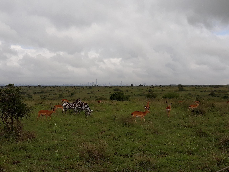 Le Parc National de Nairobi (la ville est au fond) est l'un des rares endroits où le tourisme a pu continuer malgré l'épidémie de Covid-19.