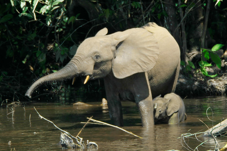 Loxodontacyclotis - éléphant de forêt d'Afrique